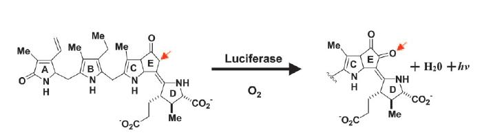 Image:Luciferase reaction.jpg