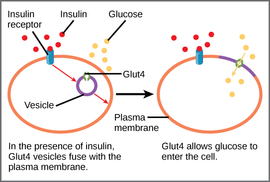 insulin and glucose relationship diagram mysql