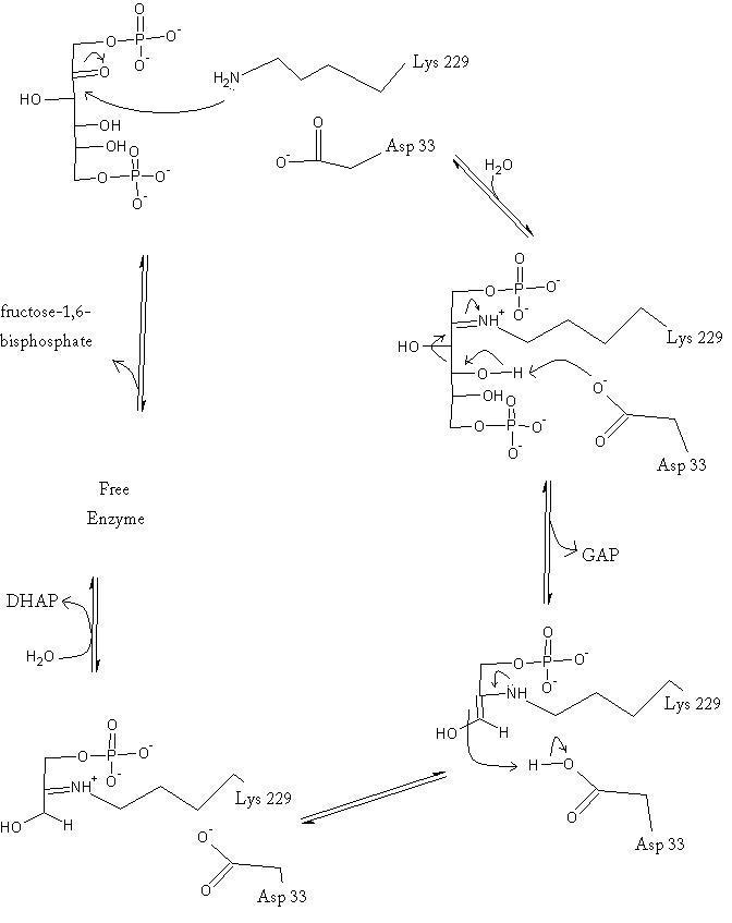 fructose bisphosphate aldolase - proteopedia, life in 3d, Skeleton