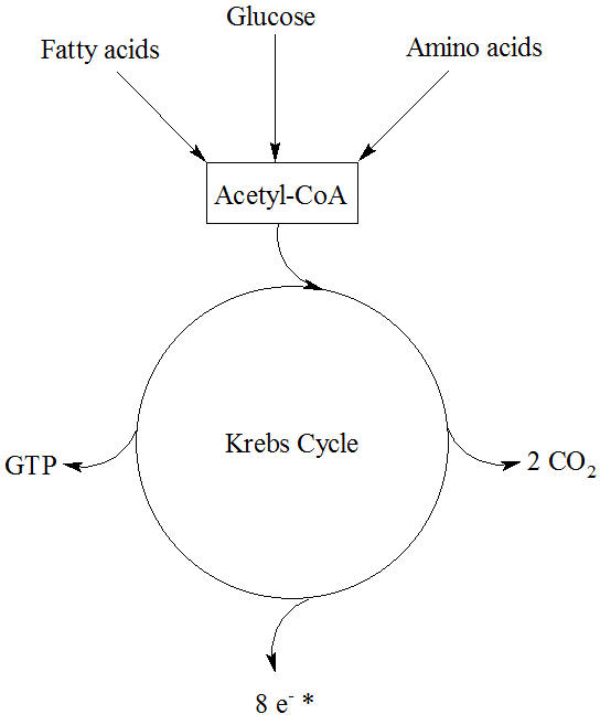 Krebs cycle importance - Proteopedia, life in 3D
