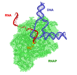 RNA Transcription from DNA in T. aquaticus