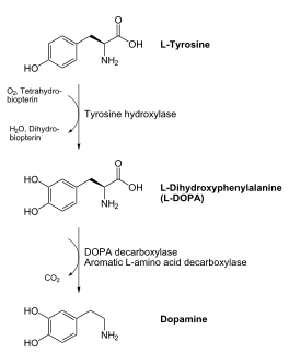 Serotonin Synthesis