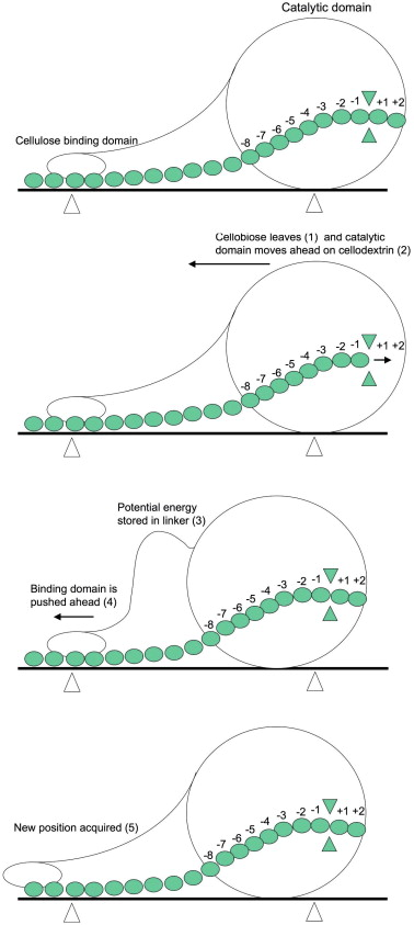 Dimerization Mechanism
