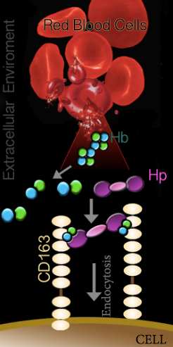 Figure 1. Hb-Hp/CD-163 Pathway during Intravascular hemolysis by Ololade Fatunmbi.      Haptoglobin 1-1 (Hp), an abundant glycoprotein in blood binds free hemoglobin (Hb) dimers in one of the strongest non-covalent binding events known in biology. This interaction shields Hb residues that are prone to oxidative modification. Hb-Hp globin complexes bind to the CD163 cell surface receptor on macrophages leading to their internalization and catabolism.