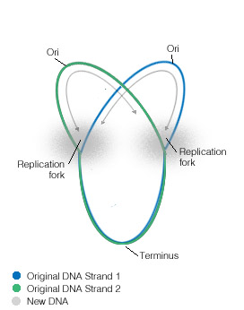 Bacterial replication termination proteopedia life in 3d bacterial replication fork 3 ccuart Choice Image