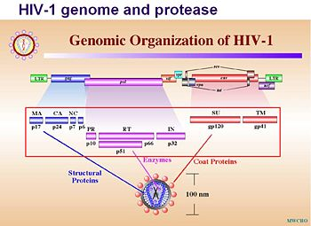 The genome products (red circle) that require protease to process.
