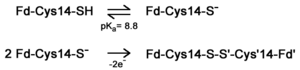 pH dependent equilibrium of D14C [3Fe-4S] P. furiosus ferredoxin between protonated and deprotonated monomers and formation of a disulfide bonded dimer from deprotonated monomers. Fd is short for ferredoxin.
