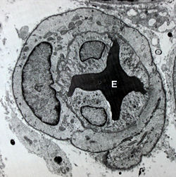 Image of a blood vessel with an erythrocyte (E) within its lumen and endothelial cells form its its tunica intima
