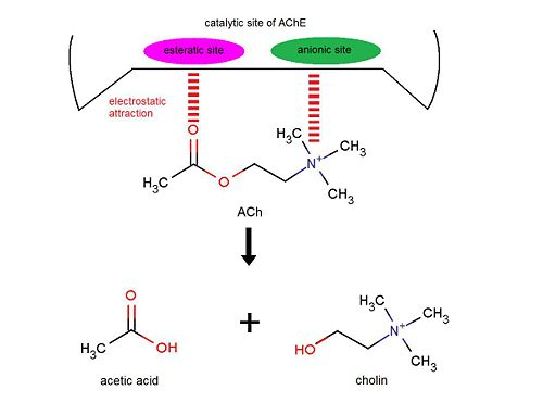 Image result for esteratic site of acetylcholinesterase