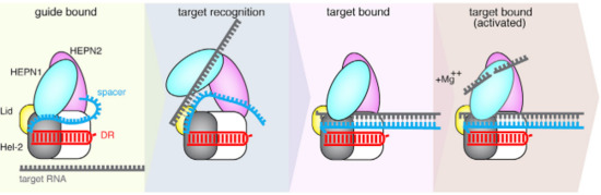 Fig.4 Proposed mechanism of crRNA targeting by Cas13b