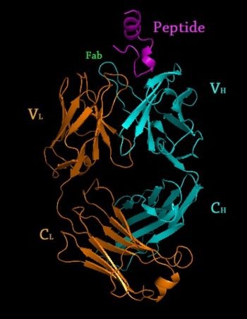 Crystal Structure of Rituximab Fab in complex with an epitope peptide 2osl
