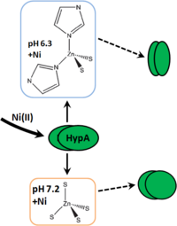 Fig. 1: Diagram of Ni- and pH-dependent structural changes to Zn(II) site of HpHypA (adapted figure)