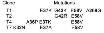 The identities of the mutations present in the 4 selected clones are provided in the table
