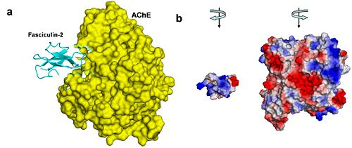 Figure 4. AChE-fasciculin-2 complex. (a) A side view of the complex, illustrating the geometric complementarity of the two interacting proteins. AChE is presented as a yellow surface and fasciculin-2 as a blues ribbon. (b) A front view of both interacting proteins, presented separately as surfaces colored by electrostatic potential (blue is positive, white is neutral, and red is negative). To create this view, both proteins were rotated 90º compared to their position in a, AChE to the right and fasciculin to the left. The electrostatic compatibility between the two proteins is clear; The positively charged part of fasciculin matches the entrance to AChE's binding site, which is negatively charged .