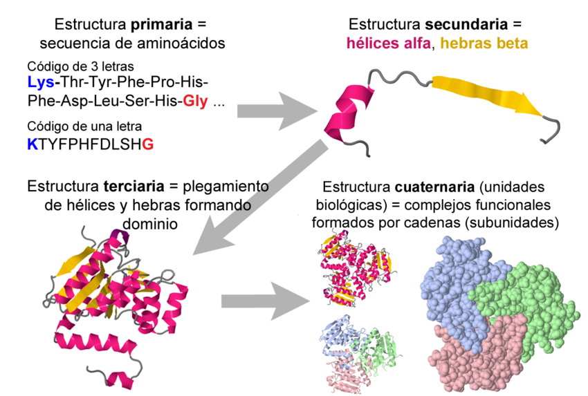 Protein Primary Secondary Tertiary And Quaternary