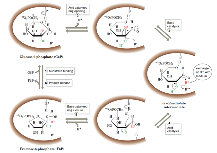 Figure 3. The reaction mechanism of phosphoglucosisomerase. The active site catalytic residues, BH+ and B′, are thought to be Lys and His, respectively.