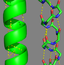 Tropomyosin's Alpha Helices are represented in ribbon (Chain A) and ball and stick form (Chain B, without side chains).  The yellow lines represent the polar contacts within the protein backbone, which stabilize the helical structure.