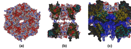 Electrostatic potential mapped at the molecular surface for the R1deltaDII/R2deltaDII dodecamer. (a) top view and (b) cross-section view showing the central channel. (c) cross-section view of the SV40 Ltag hexamer complexed with ATP (PDB 1svm), included for comparison. In (a) and (b) the R1deltaDII and R2deltaDII monomers are colored gold and cyan, respectively. In (c) the SV40 monomers are alternately colored gold and cyan.