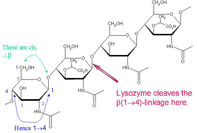 Lysozyme Cleavage Site
