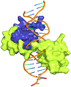 Figure 1: Crystal structure of Exd-Scr-DNA ternary complex; PDB ID# 2R5Z. The Hox protein Scr (yellow) and its cofactor Exd (blue) bind to its specific fkh20 site.