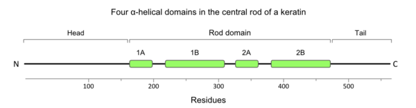 Fig. 1. The locations of the α-helical domains (1A, 1B, 2A and 2B) in the central rod of a keratin subunit.