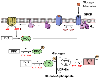 Figure 6: Metabolic Regulation of Glycogen by Glucagon.Depicted is the visualization of the glucagon signaling pathway through the GCGR. The location of the GCGR, the release of the alpha subunit from the beta and gamma subunits, and the enzyme cascade to result in the releasing of glucose are depicted. Abbreviations for the enzymes in the cascade include- PPK: phosphorylase kinase; PYG b: glycogen phosphorylase b; PYG a: glycogen phosphorylase a.