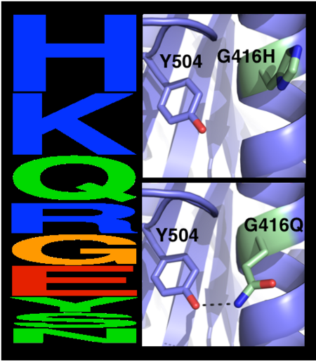 Eliminating potentially destabilizing mutations through homologous-sequence analysis and computational mutation scanning. Left: Sequence logo for hAChE position Gly416. The height of letters represents the respective amino acid's frequency in an alignment of homologous AChE sequences. The evolutionarily 'allowed' sequence space (PSSM scores ≥0) at position 416 includes the 9 amino acids shown. Right: Structural models of mutations to the evolutionarily favored amino acid His, and to Gln, which is favored by Rosetta energy calculations. The His side chain is strained due to its proximity to the bulky Tyr504 aromatic ring, whereas the Gln side chain is relaxed and forms a favorable hydrogen bond with Tyr504 (dashed line)