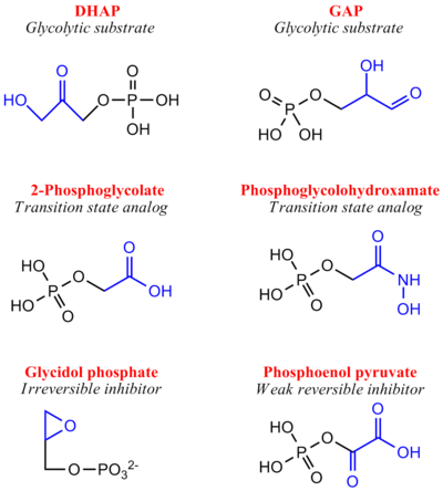 Inhibitors of Triose Phosphate Isomerase