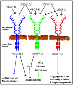 Interaction of VEGFs with VEGFRs. Colored arrows indicate major pathway. Black arrows indicate minor pathway.
