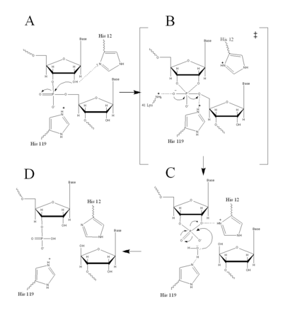 Figure II: RNase A Catalysis. (A) Initial attack of 2'hydroxyl stabilized by His12. (B) Pentavalent phosphorous intermediate. (C) 2'3' cyclic intermediate degradation. (D) Finished products: Two distinctive nucleotide sequences. Figure generated via Chemdraw