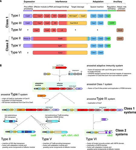 Figure. 2. CRISPR diversity and evolution. (A) Modular organization of the CRISPR-Cas systems. LS, large subunit; SS, small subunit. A putative small subunit that might be fused to the large subunit in several type I subtypes is indicated by an asterisk. Cas3 is shown as fusion of two distinct genes encoding the helicase Cas3′ and the nuclease HD Cas3′′; in some type I systems, these domains are encoded by separate genes. Functionally dispensable components are indicated by dashed outlines. Cas6 is shown with a thin solid outline for type I because it is dispensable in some systems, and by a dashed line for type III because most systems lack this gene and use the Cas6 provided in trans by other CRISPR-Cas loci. The two colors for Cas4 and C2c2 and three colors for Cas9 and Cpf1 reflect the contributions of these proteins to different stages of the CRISPR-Cas response (see text). The question marks indicate currently unknown components. From  (B) Evolutionary scenario for the CRISPR-Cas systems. TR, terminal repeats; TS, terminal sequences; HD, HD-family endonuclease; HNH, HNH-family endonuclease; RuvC, RuvC-family endonuclease; HEPN, putative endoribonuclease of HEPN superfamily. Genes and portions of genes shown in gray denote sequences that are thought to have been encoded in the respective mobile elements but were eliminated in the course of evolution of CRISPR-Cas systems. From