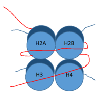 Figure 1: DNA (red) wrapped around histone proteins with histone tails (blue)