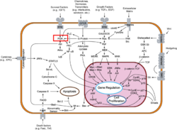 Signal Transduction Pathway. PI3K Highlighted in Red. Click to Expand