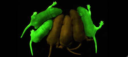 Mice with GFP inserted into their genomes for neurology studies.