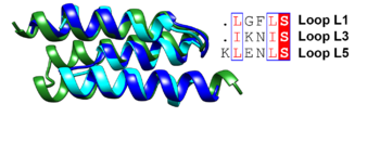 Superposition of the antiparallel three-helix-bundle-motif repeats MR1 (dark blue), MR2 (cyan) and MR3 (forest green). Similar residues such as Leu and Ile are boxed and shown in a red font and the conserved serine residue is highlighted in red.