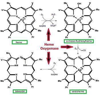 Heme Oxygenase Proteopedia Life In 3d