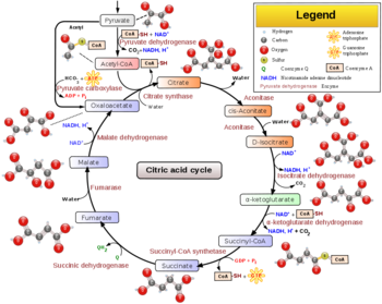 A Citric Acid Cycle Schematic