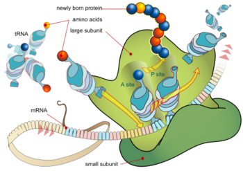The Translation of mRNA and Subsequent Synthesis of Proteins in the Ribosome.
