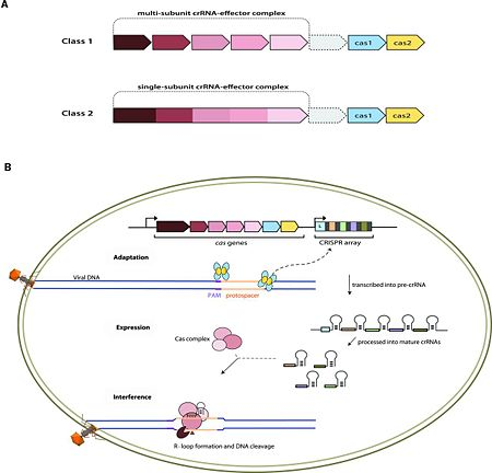Fig. 1 Overview of the CRISPR-Cas systems. (A) Architecture of class 1 (multiprotein effector complexes) and class 2 (single-protein effector complexes) CRISPR-Cas systems. (B) CRISPR-Cas adaptive immunity is mediated by CRISPR RNAs (crRNAs) and Cas proteins, which form multicomponent CRISPR ribonucleoprotein (crRNP) complexes. The first stage is adaptation, which occurs upon entry of an invading mobile genetic element (in this case, a viral genome). Cas1 (blue) and Cas2 (yellow) proteins select and process the invading DNA, and thereafter, a protospacer (orange) is integrated as a new spacer at the leader end of the CRISPR array [repeat sequences (gray) that separate similar-sized, invader-derived spacers (multiple colors)]. During the second stage, expression, the CRISPR locus is transcribed and the pre-crRNA is processed into mature crRNA guides by Cas (e.g., Cas6) or non-Cas proteins (e.g., RNase III). During the final interference stage, the Cas-crRNA complex scans invading DNA for a complementary nucleic acid target, after which the target is degraded by a Cas nuclease. From