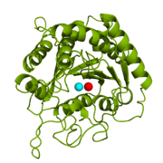 Figure 1: Catalytic and inhibitory Zn2+ ions in the active site of CPA.  The catalytic and inhibitory Zn2+ ions are shown in cyan and red, respectively. PDB code: 1CPX.